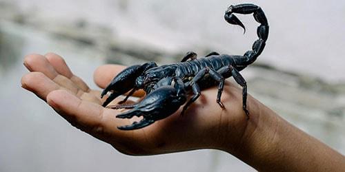 скорпион в руках