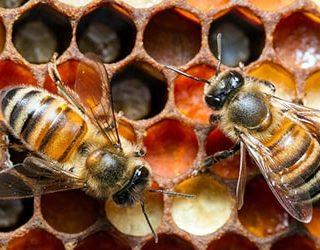 К чему снятся пчелы и мед?