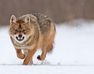 Убегать от волка
