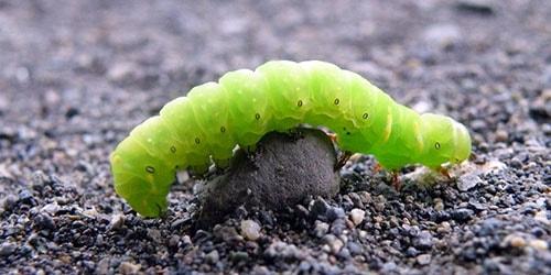 зеленая гусеница