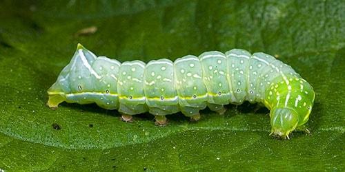 красивая гусеница