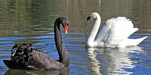 два лебедя на водоеме