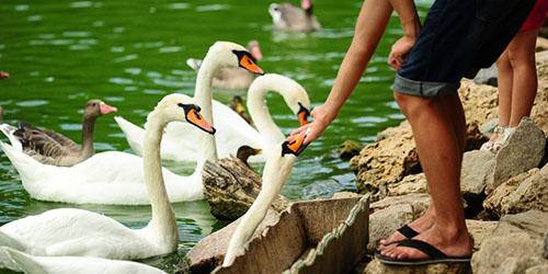 кормить лебедей