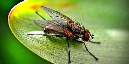 двукрылое насекомое