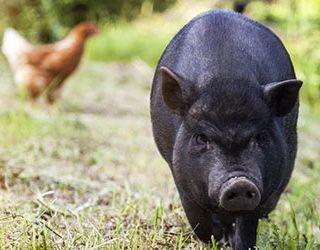 К чему снится черная свинья?