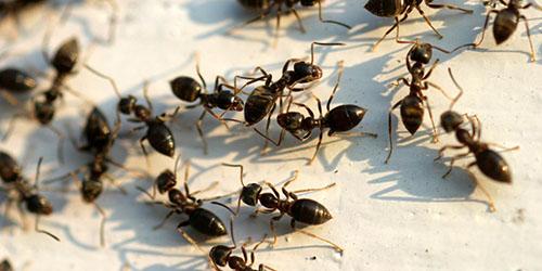 черные муравьи