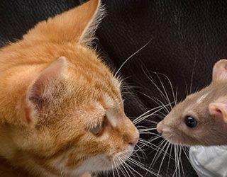Крысы и кошки