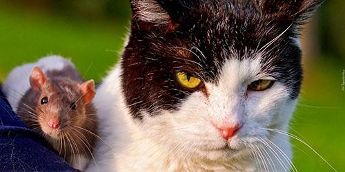 грызун и кот