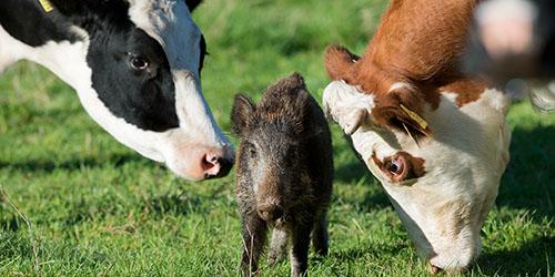 коровы и кабан