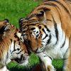 Тигры женщине