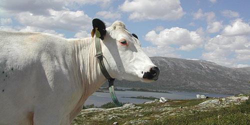 белая корова