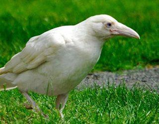 К чему снится белая ворона?