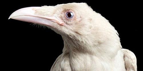 ворон альбинос