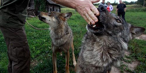 кормить волка
