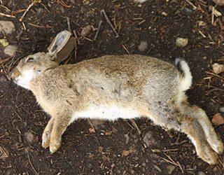 К чему снится мертвый кролик?