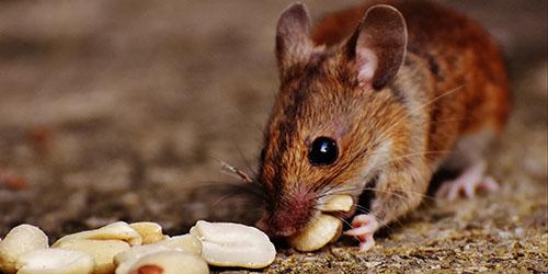 видеть во сне мышиный помет