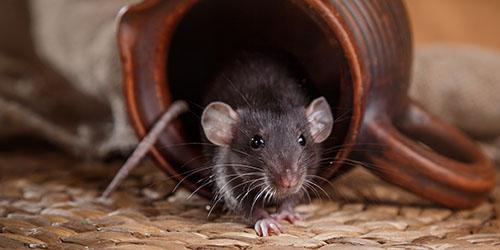 приснилось много мышиного помета
