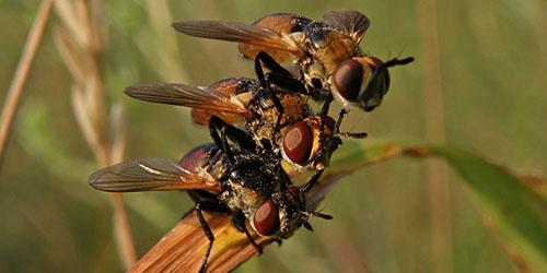 двукрылые насекомые