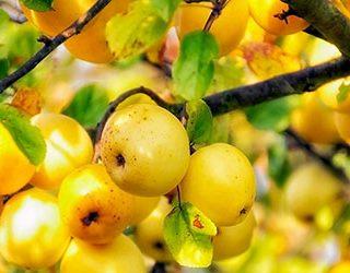 Сонник жёлтые яблоки
