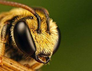 Большая пчела
