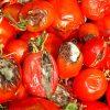 испорченные помидоры