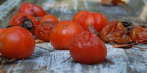 испорченные томаты