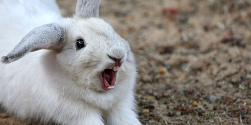 бешеный кролик