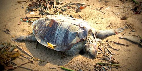 мертвая черепаха