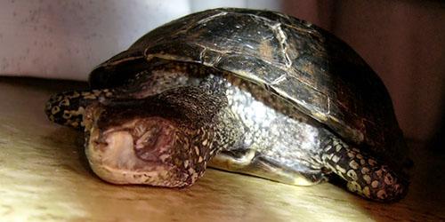 труп черепахи