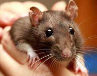 Поймать крысу