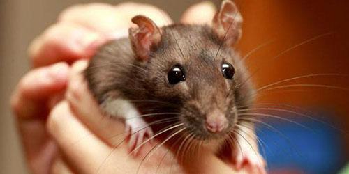 крыса в руках
