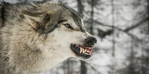 агрессивный хищник
