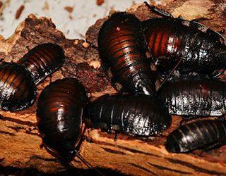 Черные тараканы