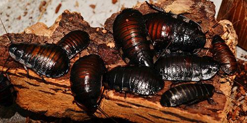 большие тараканы