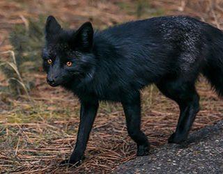 К чему снится черная лиса?
