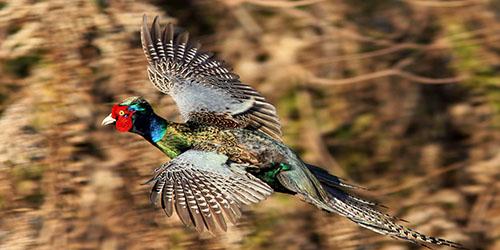 летящий фазан