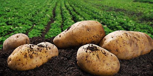 крупный картофель