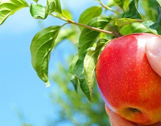 К чему снится воровать яблоки?