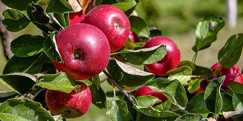К чему снятся красные яблоки: большие и спелые на дереве