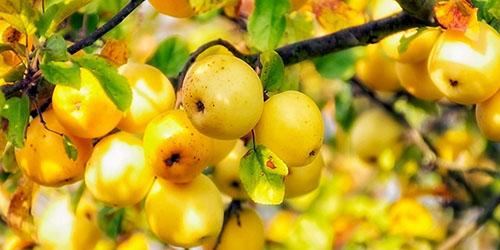 Сонник яблоня с яблоками спелыми к чему снится во сне