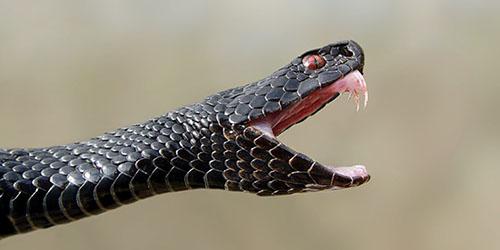 черная змея