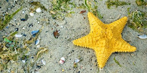 желтая морская звезда