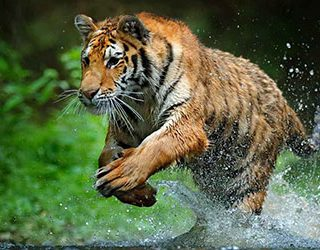 Убегать от тигра