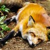 мертвая лиса