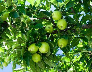 Яблоня с зелеными яблоками