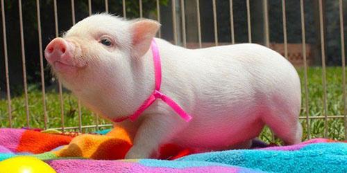 Желтая земляная свинья