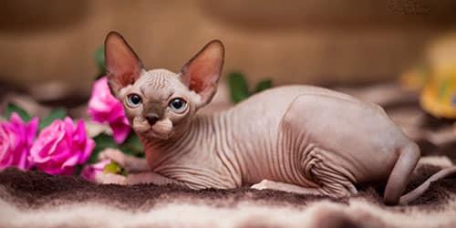 Приснилась лысая кошка
