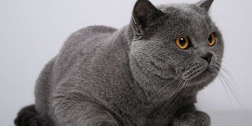 Приснился красивый кот