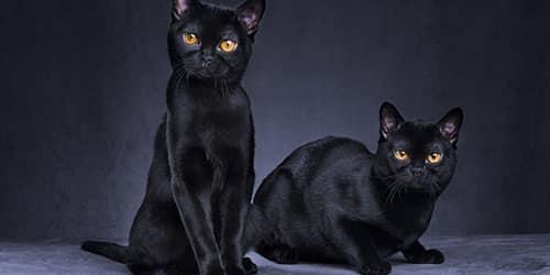 Видеть две черные кошки во сне