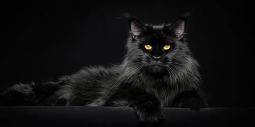 Огромная черная кошка